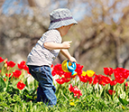 toddler watering tulips
