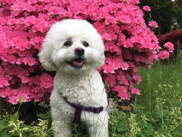 Murphy the therapeutic pup next to a pink flowering bush