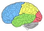 Drawing of a brain segmented by different colors