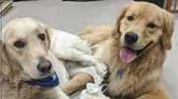Two therapy dogs laying down