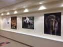 Pictures of animals hang in the Children's National Hospital art gallery.